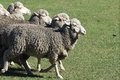 Ewe sheep merino running in the paddock merino ewes are prized for their super fine wool Royalty Free Stock Images