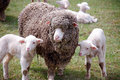 Ewe with Twins Royalty Free Stock Image