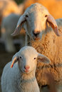 Ewes Royalty Free Stock Image