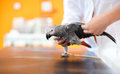 Examination and diagnosis of african gray parrot in vet infirmar wings sick diagnosing illness clinic Stock Images
