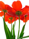 Excellent tulip Royalty Free Stock Image