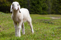 Exceptionally cute white lamb in green meadow portrait of an adorable beautiful standing a alpine the baby sheep is looking Stock Photography