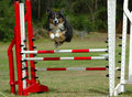 Excited agility dog jumping looking with attentive facial expression the last hurdle with eyes focusing on the finish line Stock Photo