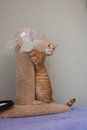Excited Tabby cat Royalty Free Stock Photo