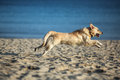 Excited young golden retriever running and jumping on the beach Royalty Free Stock Photo