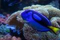 Exotic aquarium fish Royalty Free Stock Photo