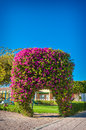 Exotic arch of flowers bougainvillea Royalty Free Stock Photo