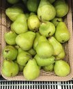 Exotic asian delicious green pear, Chinese pear Royalty Free Stock Photo
