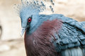 Exotic Bird (Goura Victoria) Royalty Free Stock Photo