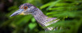 Exotic bird with large beak on the tropical forest Stock Image
