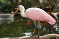 Exotic bird pink aquatic in aviary the oceanographic of the city of arts and sciences in valencia spain Royalty Free Stock Photo