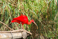Exotic bird - Scarlet Ibis Royalty Free Stock Photo
