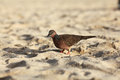 Exotic bird walking at beach along the hunting Stock Photography
