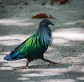 Exotic bird walking down the beach thailand image of Stock Photo