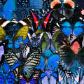 Exotic blue background texture by the compilation of many butter butterflies in greatest set beautiful livery Stock Image