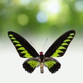 Exotic butterfly with black and green wings and some attractive natural lights in background Stock Image