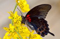 Exotic butterfly in natural habitat sitting on yellow flower Royalty Free Stock Photography