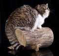 Exotic cat animals feline domestic in black background Royalty Free Stock Photos