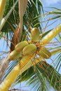 Exotic coconut palm tree Stock Image
