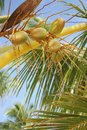 Exotic coconut palm tree Royalty Free Stock Image