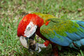 Exotic colorful african macaw parrot beautiful close up on bird face over natural green background wildlife Stock Image