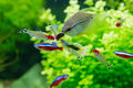 Exotic fish in freshwater aquarium closeup of guppy red neon and pearl gourami a Royalty Free Stock Images
