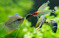 Exotic fish in freshwater aquarium closeup of guppy rummy nose tetra and pearl gourami a Stock Photography
