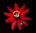 Exotic flower of the Red Panama passionfuit, passiflora edulis. Royalty Free Stock Photo