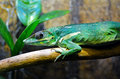 Exotic green lizard green anole on a plant branch Royalty Free Stock Photography