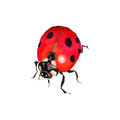 Exotic ladybug wild insect in a vector style isolated.
