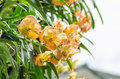 Exotic orange orchids flower in Thailand Royalty Free Stock Photo