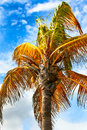 Exotic palm trees a tree swaying in the breeze against a blue sky Stock Image