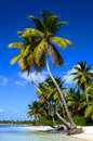 Exotic palms on sandy caribbean beach in dominicana with clear blue sky and azure water Royalty Free Stock Image