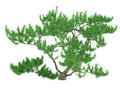 Exotic pine tree see my other works in portfolio Royalty Free Stock Image