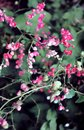 Exotic pink wine flowers in soft light airy spray of small blooms in spring light.