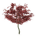 Exotic red tree with big leaves see my other works in portfolio Stock Photo