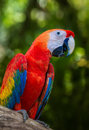 Exotic Scaret Macaw parrot perching on the log Royalty Free Stock Photo