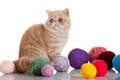 Exotic shorthair cat cat with balls of threads Royalty Free Stock Image