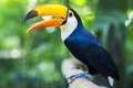 Exotic Toucan Bird in Natural Setting, Foz do Iguacu, Brazil Royalty Free Stock Photo
