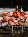 Exotic tropical birds red pink flamingo wildlife colonies of and flamingos – phoenicopterus Royalty Free Stock Image