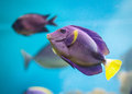 Exotic tropical fish purple yellowfin surgeonfish acanthurus xanthopterus closeup Stock Image