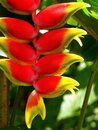 Exotic tropical flowers, Heliconia plant