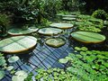 Exotic water lilies leaves in the sunshine Stock Photos