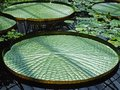 Exotic water lilies leaves in the sunshine Royalty Free Stock Image