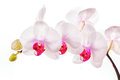 Exotic white orchids this is a high key image of delicate and magenta isolated against a background Royalty Free Stock Photo