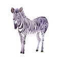Exotic zebra wild animal in a watercolor style isolated. Royalty Free Stock Photo