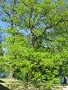 Expanding oak tree branches in all directions jubilant about the approaching summer Royalty Free Stock Images
