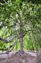 Expanse of a large tree whose branches are so long and wide one can go under and in it Stock Photography