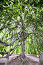 Expanse of a large tree whose branches are so long and wide one can go under and in it Stock Image