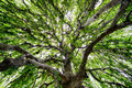 Expanse of a large tree whose branches are so long and wide one can go under and in it Stock Photos